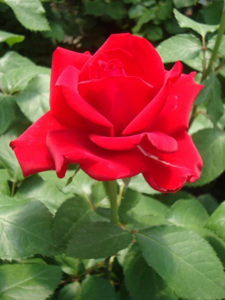 Роза 3L Grande Amore растение