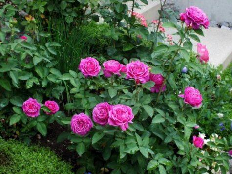 Роза 3L Heidi Klum Rose растение