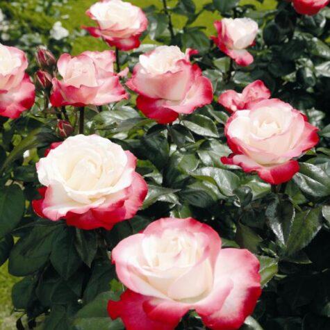 Роза 3л Ностальгическое растение