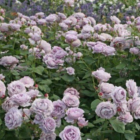 Роза 3л завод Новалис