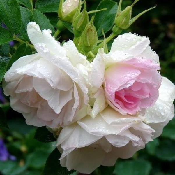 Роза 3л Ritausma plant