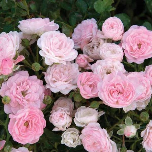 Роза 3л Сказочное растение