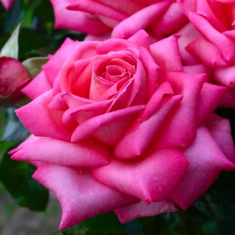 Роза 3L Wedding Bells завод