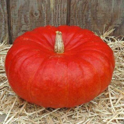 Pumpkin Rouge vif d`Etampes растение