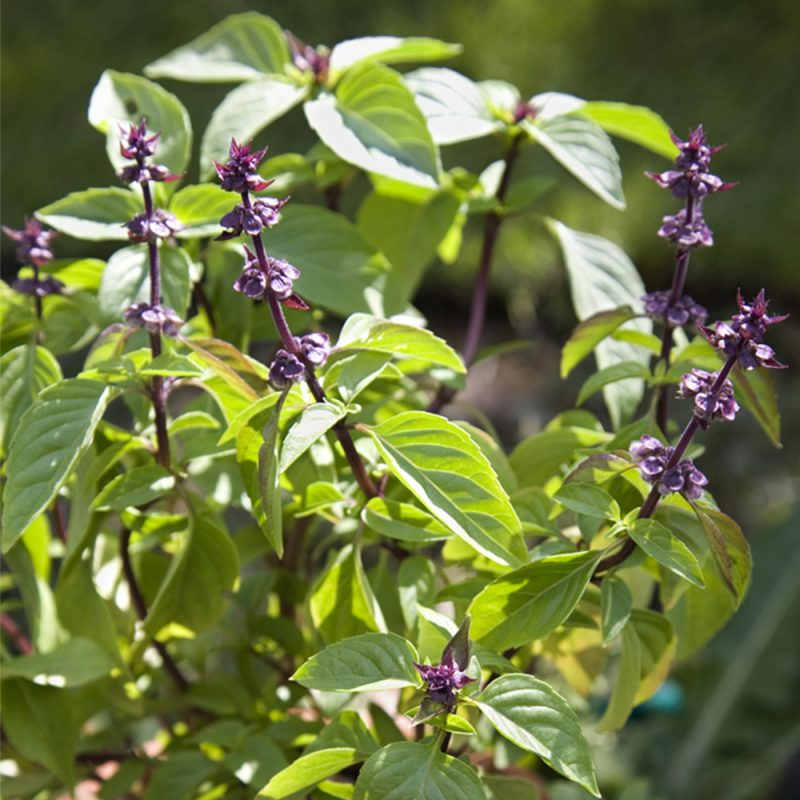 Kaneelbasiilik taim