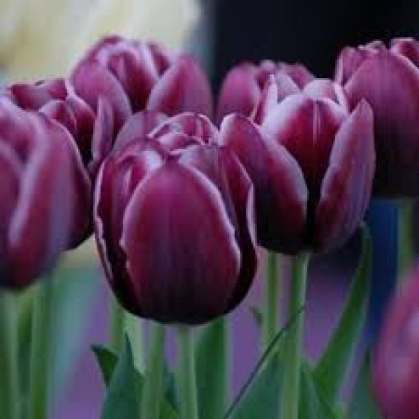 Tulp Alexander Pushkin 1 tk