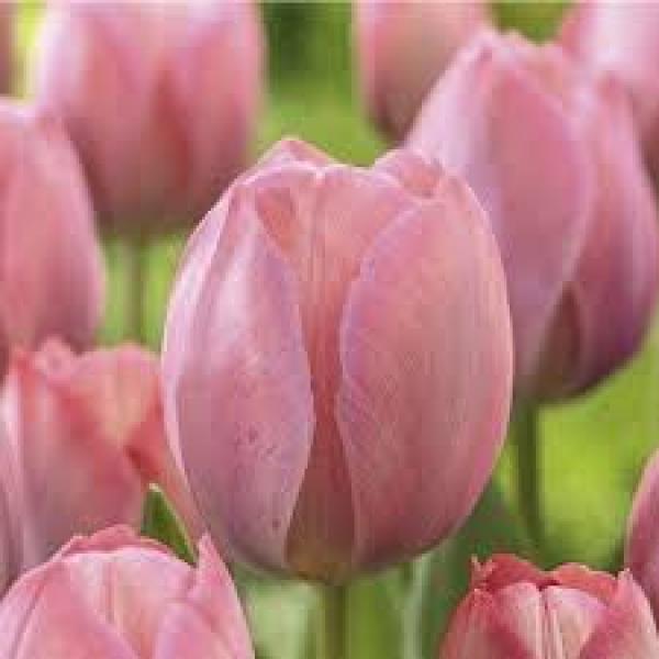 Tulp Mystic van Eijk 1tk