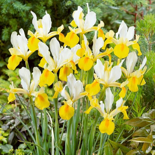 Iiris Dutch Yellow/White 10 tk