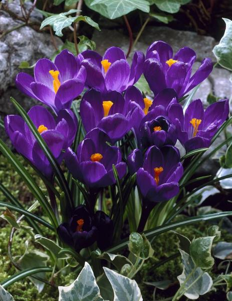 Krookus Flower Record  10tk