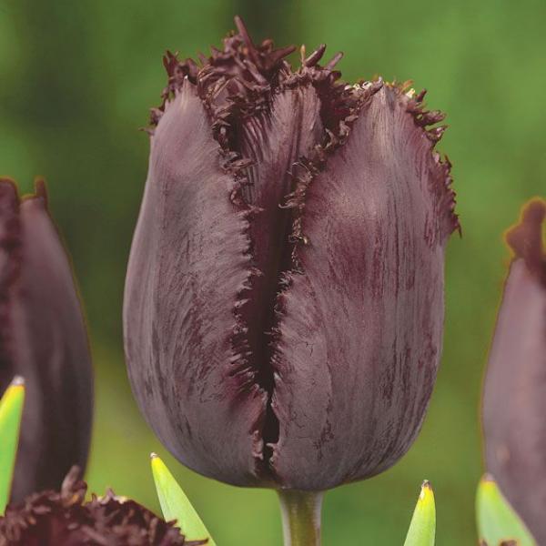 Tulp Black Jewel 5tk