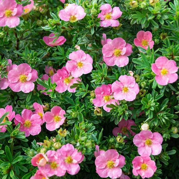 Põõsasmaran Lovely Pink taim