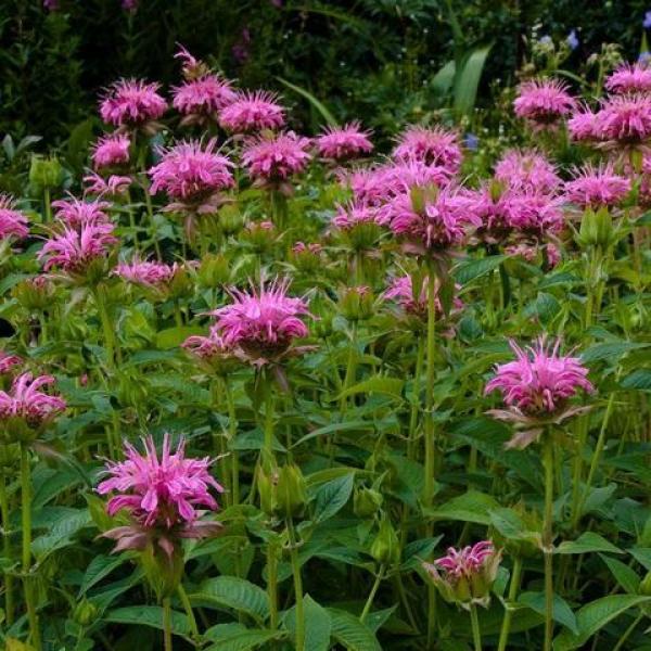 Aedmonarda Croftway Pink taim