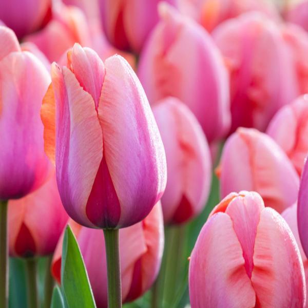 Tulp Holland Beauty 1tk