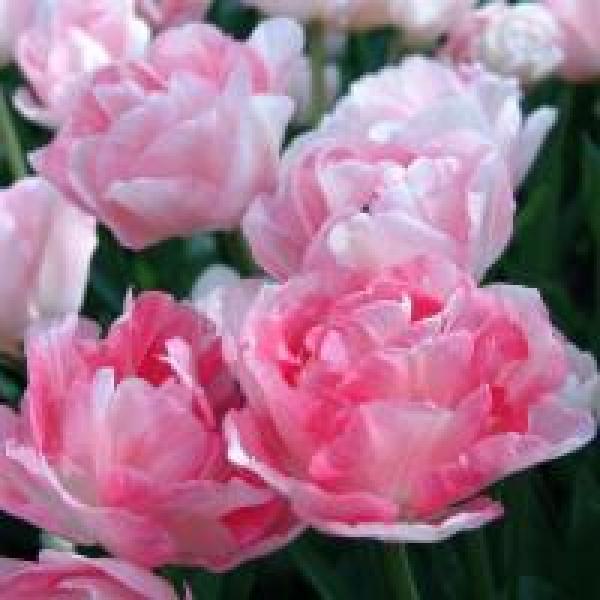 Тюльпан Анжелик 1шт