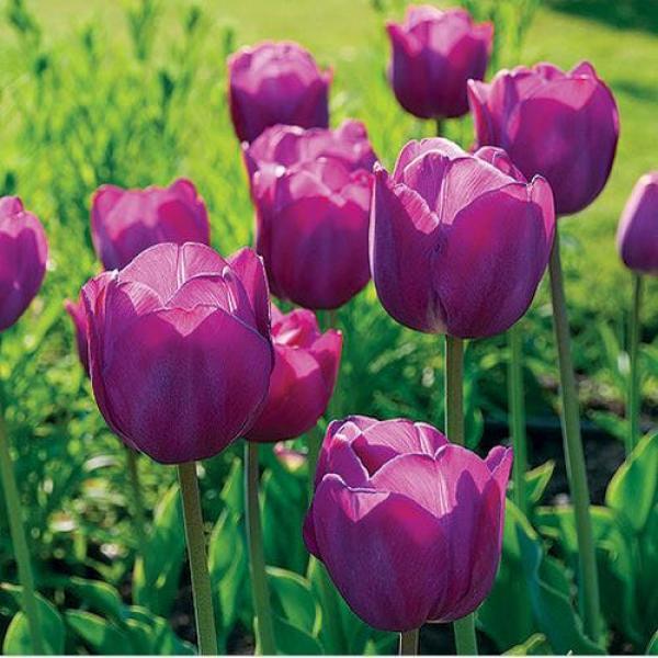 Tulp Purple Pride 5tk