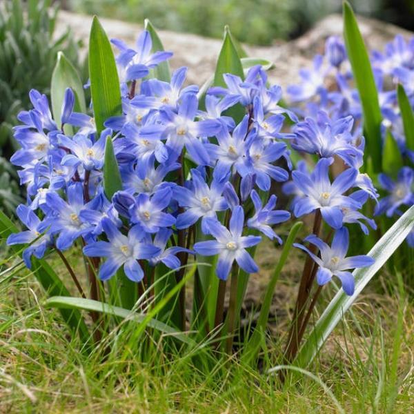 Kirgaslill Blue Giant 15tk