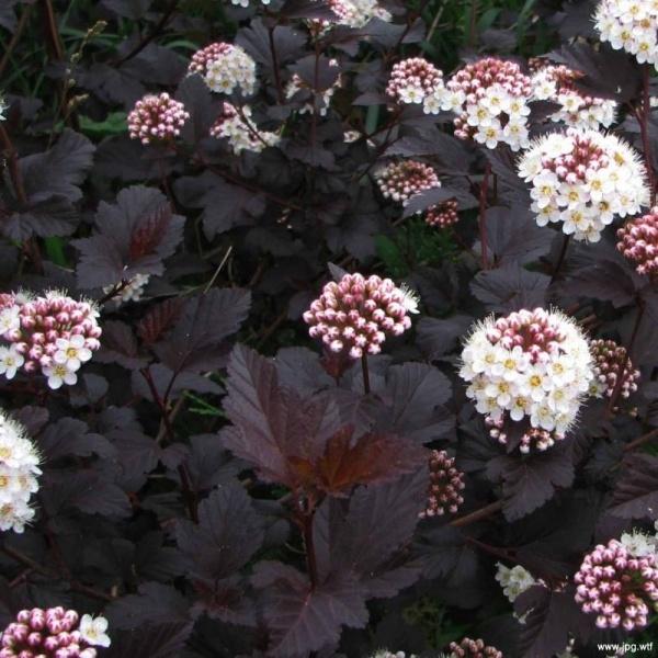 Lodjapuuleheline põisenelas Diabolo taim