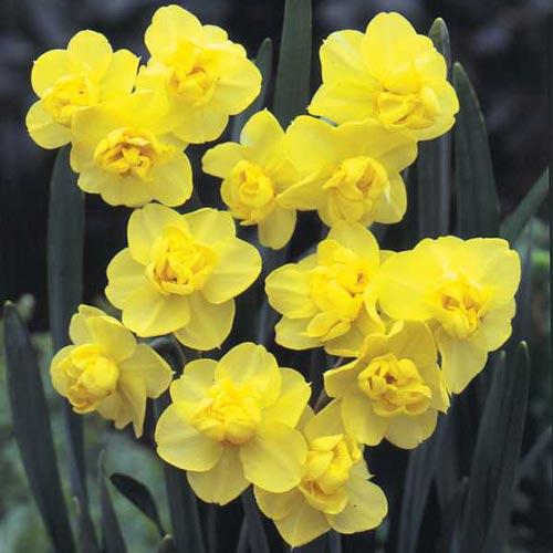 Nartsiss Yellow Cheerfullness 5tk