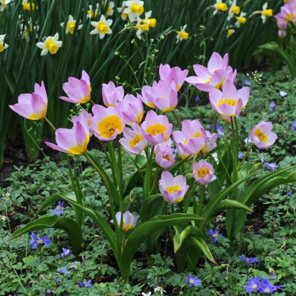 Tulp Lilac Wonder 15tk