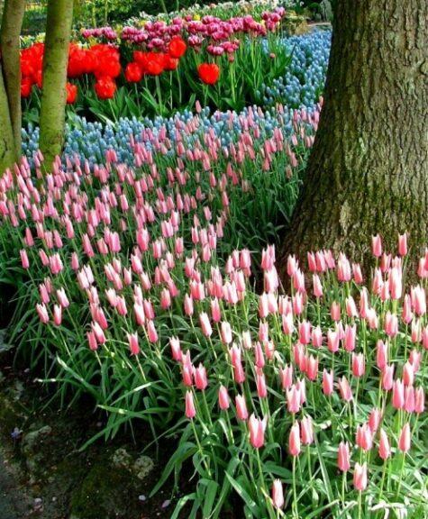Tulp Peppermint Stick 15tk